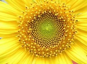 Sunflower's seed arrangement